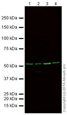Western blot - Anti-alpha Tubulin antibody [DM1A] - Loading Control (Alexa Fluor® 790) (ab184577)