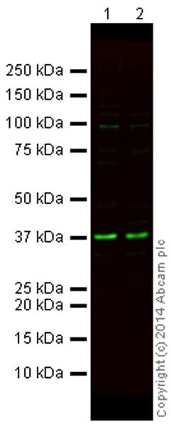 Western blot - Anti-GAPDH antibody [mAbcam 9484] - Loading Control (Alexa Fluor® 790) (ab184578)