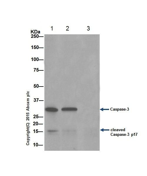 Immunoprecipitation - Anti-Caspase-3 antibody [EPR18297] (ab184787)