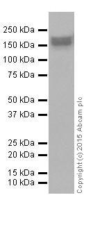 Western blot - Anti-EHMT2/G9A antibody [EPR18894] (ab185050)