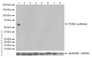 Western blot - Anti-Firefly Luciferase antibody [EPR17789] - N-terminal (ab185923)