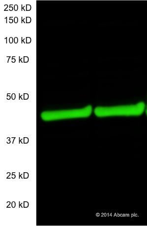 Western blot - Donkey Anti-Mouse IgG H&L (Alexa Fluor® 790) preadsorbed (ab186699)