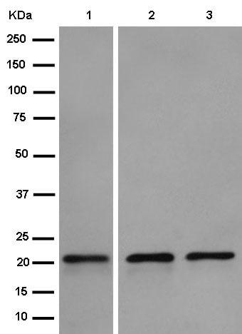 Western blot - Anti-CDC42 antibody [EPR15620] (ab187643)