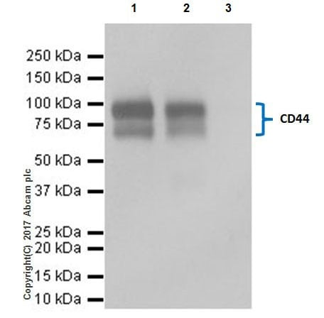 Immunoprecipitation - Anti-CD44 antibody [EPR18668] (ab189524)