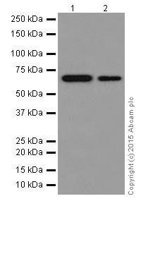 Western blot - Anti-p73 antibody [EPR18409(T)(MIX)] (ab189896)