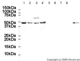 Western blot - Anti-Oct4 antibody - ChIP Grade (ab19857)