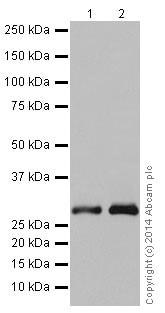Western blot - Anti-ketohexokinase antibody [EPR15847] (ab197593)