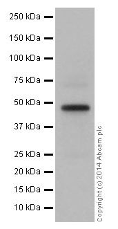 Western blot - Anti-GATA3 antibody [EPR16651] - ChIP Grade (ab199428)