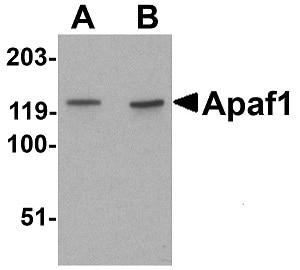 Western blot - Anti-APAF1 antibody (ab2001)