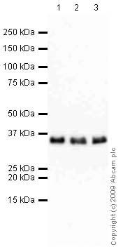Western blot - Anti-RPA32/RPA2 antibody [9H8] (ab2175)