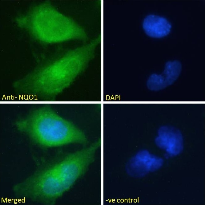 Immunocytochemistry/ Immunofluorescence - Anti-NQO1 antibody (ab2346)