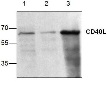 Western blot - Anti-TRAP/CD40L antibody (ab2391)