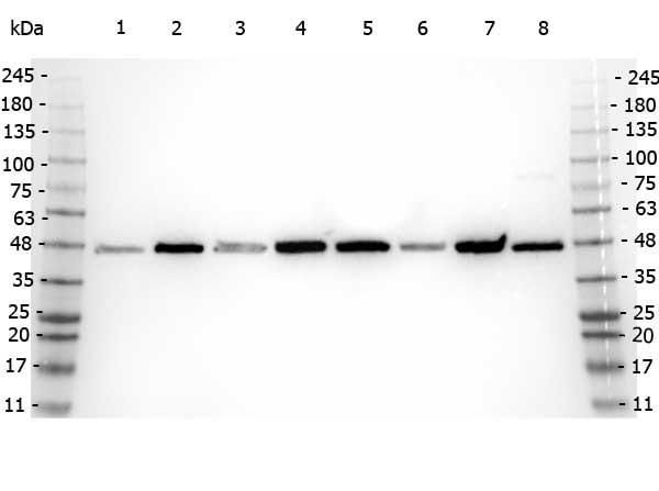 Western blot - Anti-beta Amyloid antibody (ab2539)