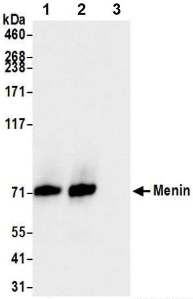 Immunoprecipitation - Anti-Menin antibody (ab2605)