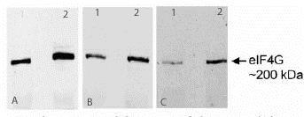 Western blot - Anti-eIF4G1 antibody (ab2609)