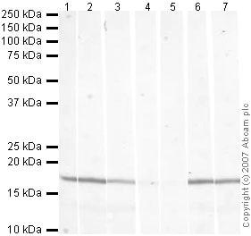 Western blot - Anti-Histone H3 (tri methyl K79) antibody - ChIP Grade (ab2621)