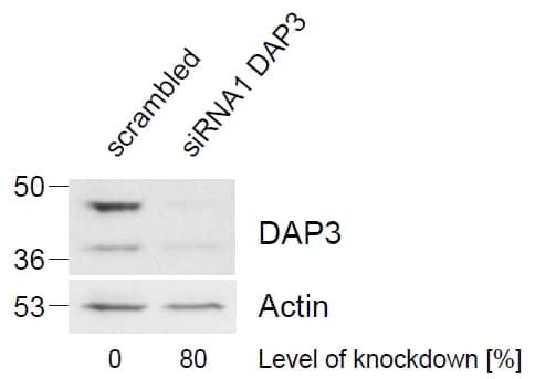 Western blot - Anti-DAP3 antibody (ab2637)