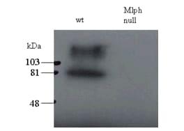 Western blot - Anti-Melanophilin antibody (ab2716)