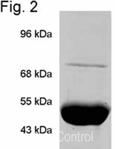 Immunoprecipitation - Anti-TRAP1 antibody [TRAP1-6] (ab2721)