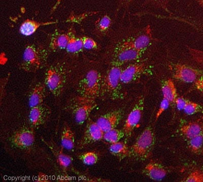 Immunocytochemistry/ Immunofluorescence - Anti-TRAP1 antibody [TRAP1-6] (ab2721)