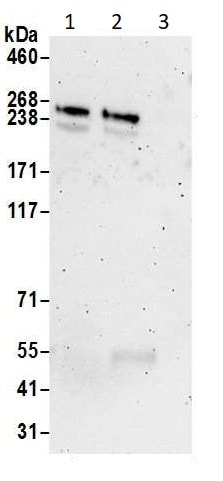 Immunoprecipitation - Anti-mTOR antibody (ab2732)