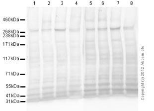 Western blot - Anti-M6PR (cation independent) antibody [2G11] (ab2733)
