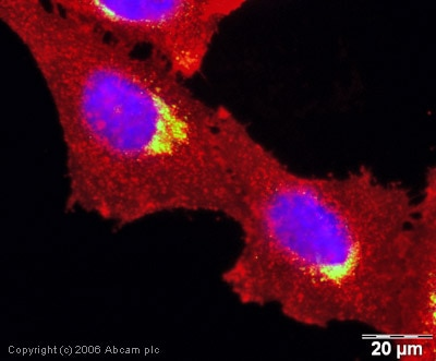 Immunocytochemistry/ Immunofluorescence - Anti-M6PR (cation independent) antibody [2G11] (ab2733)