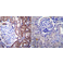 Immunohistochemistry (Formalin/PFA-fixed paraffin-embedded sections) - Anti-Nuclear Pore O-Linked Glycoprotein antibody [RL1] (ab2734)