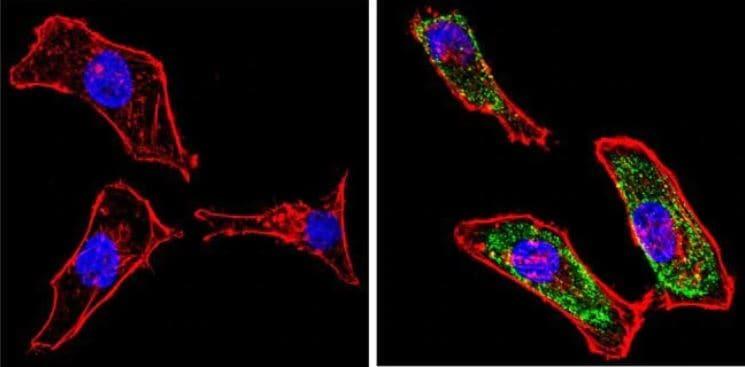 Immunocytochemistry/ Immunofluorescence - Anti-Galectin 3 antibody [A3A12] (ab2785)
