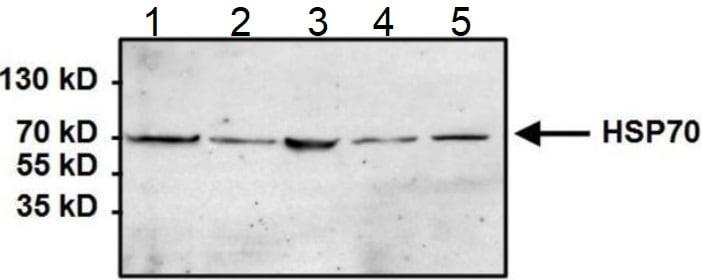 Western blot - Anti-Hsp70 antibody [5A5] (ab2787)