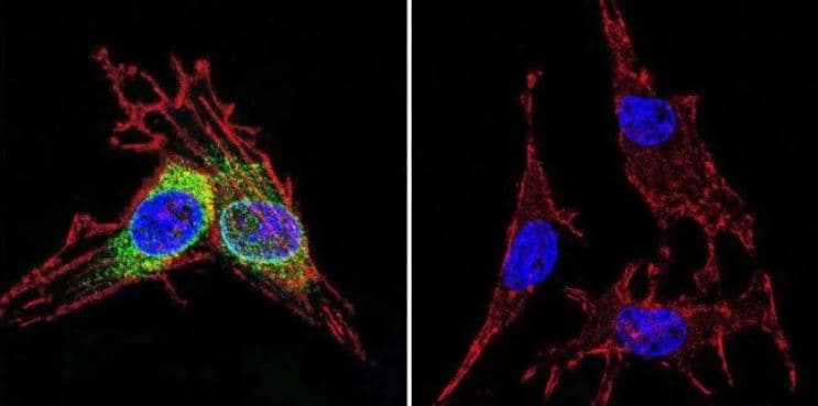 Immunocytochemistry/ Immunofluorescence - Anti-Hsp70 antibody [5A5] (ab2787)
