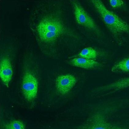 Immunocytochemistry/ Immunofluorescence - Anti-PDI antibody [RL90] (ab2792)