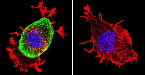 Immunocytochemistry/ Immunofluorescence - Anti-Acetylcholinesterase antibody [HR2] (ab2803)