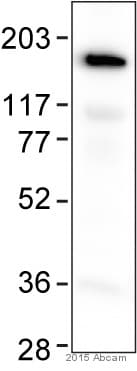 Western blot - Anti-CACNA1S antibody [1A] (ab2862)