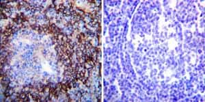 Immunohistochemistry paraffin embedded sections - Anti-pan ATPase Alpha antibody [M7-PB-E9] (ab2871)