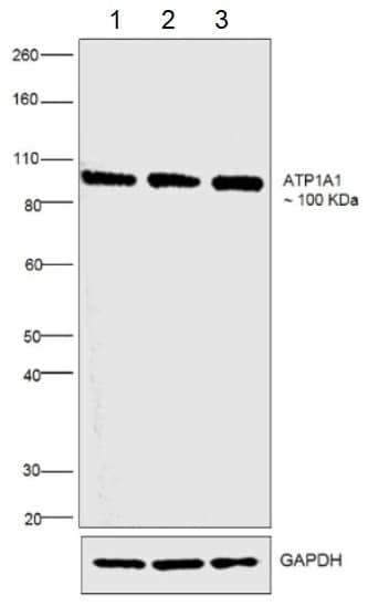 Western blot - Anti-alpha 1 Sodium Potassium ATPase antibody [M8-P1-A3] (ab2872)