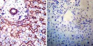 Immunohistochemistry (Formalin/PFA-fixed paraffin-embedded sections) - Anti-ATP1B1 antibody [M17-P5-F11] (ab2873)