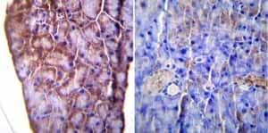 Immunohistochemistry (Formalin/PFA-fixed paraffin-embedded sections) - Anti-KDEL antibody (ab2898)