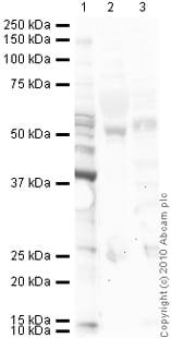Western blot - Anti-Angiostatin antibody (ab2904)