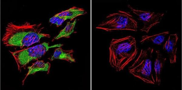 Immunocytochemistry/ Immunofluorescence - Anti-Caveolin-3 antibody - Caveolae Marker (ab2912)