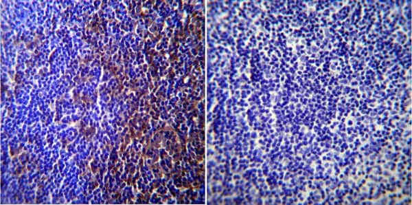 Immunohistochemistry (Formalin/PFA-fixed paraffin-embedded sections) - Anti-Caveolin-3 antibody - Caveolae Marker (ab2912)