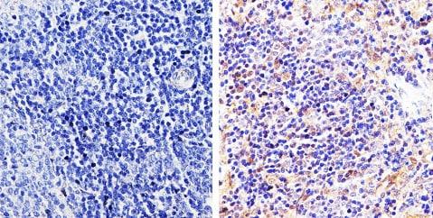 Immunohistochemistry (Formalin/PFA-fixed paraffin-embedded sections) - Anti-pan Arrestin antibody (ab2914)