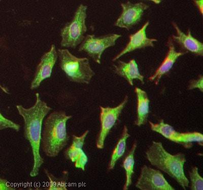 Immunocytochemistry/ Immunofluorescence - Anti-FKBP12 antibody (ab2918)
