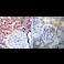 Immunohistochemistry (Formalin/PFA-fixed paraffin-embedded sections) - Anti-Hsp90 alpha antibody (ab2928)