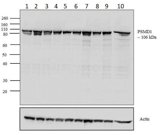 Western blot - Anti-PSMD1 antibody (ab2941)