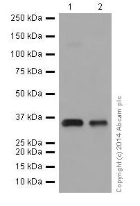 Western blot - Anti-HuR / ELAVL1 antibody [EPR17397] (ab200342)