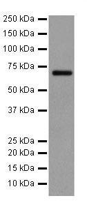 Western blot - Anti-A RAF antibody [EPR16208] (ab200653)