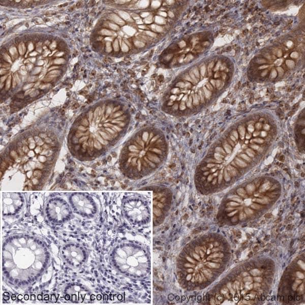 Immunohistochemistry (Formalin/PFA-fixed paraffin-embedded sections) - Goat Anti-Rabbit IgG H&L (HRP) (ab205718)