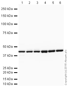 Western blot - Goat Anti-Rabbit IgG H&L (HRP) (ab205718)