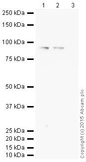 Western blot - Goat Anti-Rabbit IgG H&L (HRP) (ab205718)